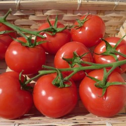 BIO - Tomates rondes grappe
