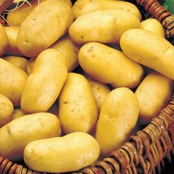 BIO - Erika - pommes de terre